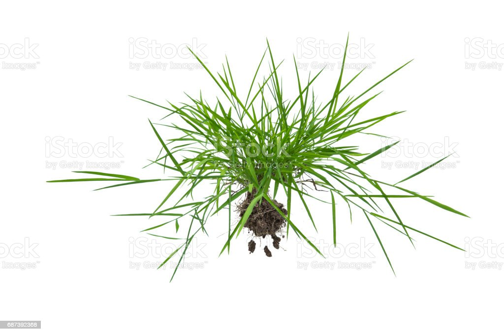 Clump of grass isolate on white background. stock photo