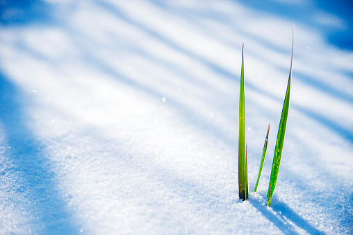 Early Spring, Frozen grass close up, Clump of grass poking through melted snow