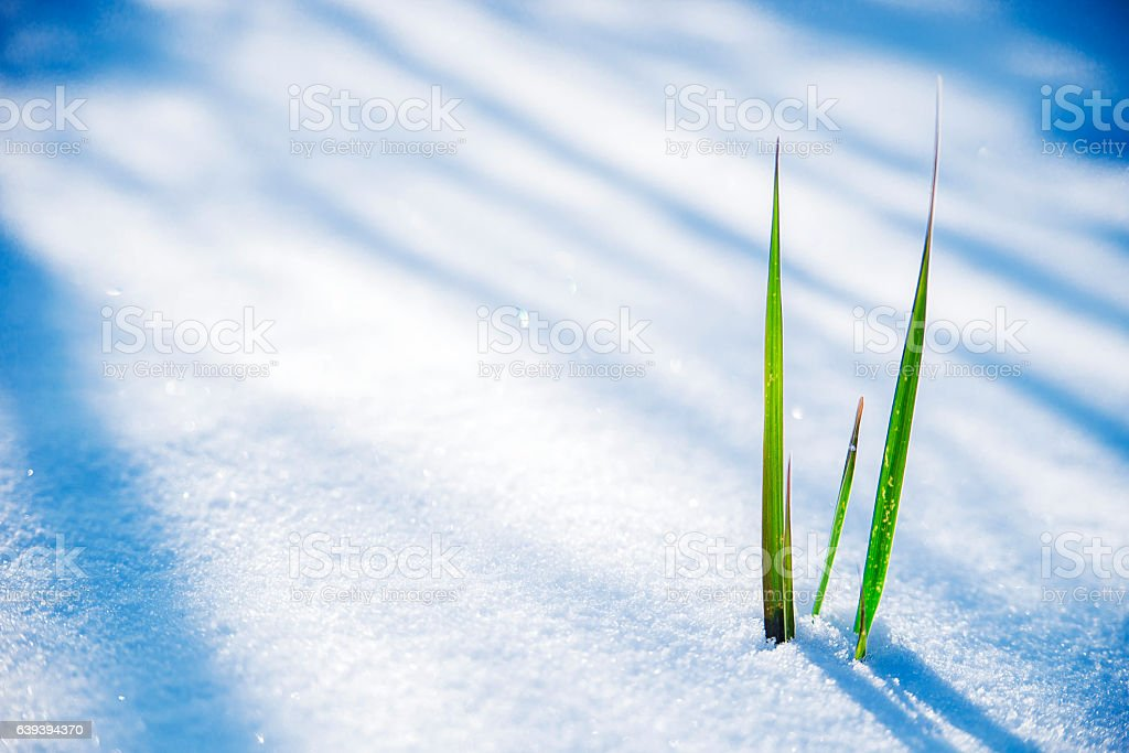 Clump of grass poking through melted snow stock photo