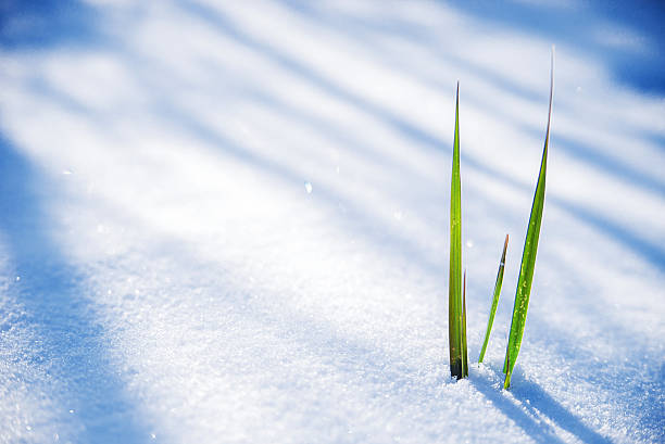 Clump of grass poking through melted snow Early Spring, Frozen grass close up, Clump of grass poking through melted snow emergence stock pictures, royalty-free photos & images