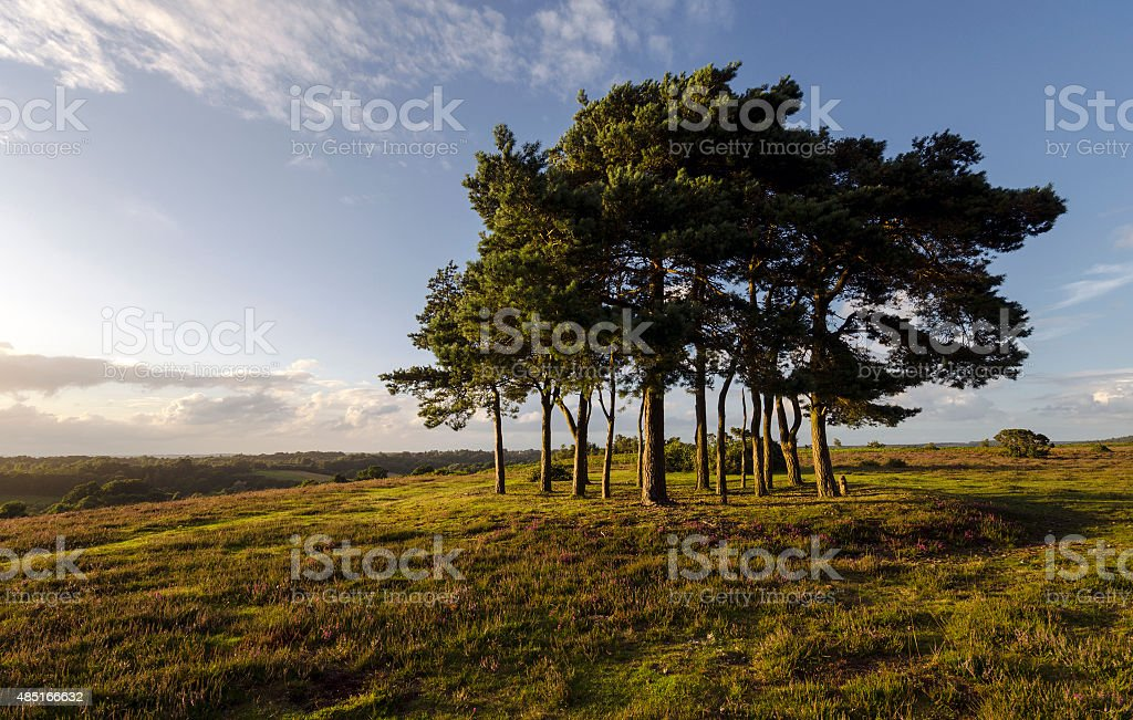 Clump of Scots Pine Trees stock photo