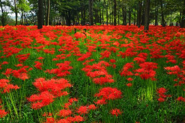 金谷久田公園クラスターアマリス(埼玉プレフ) - 彼岸花 ストックフォトと画像