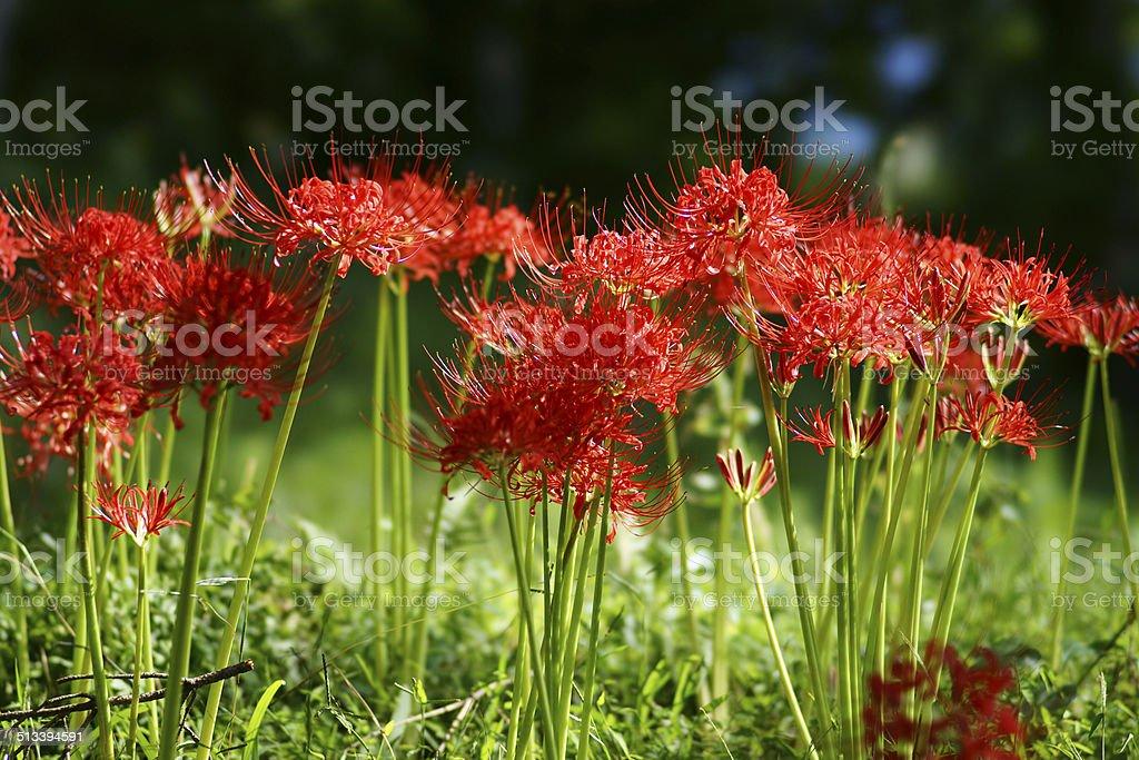 Cluster amaryllis stock photo