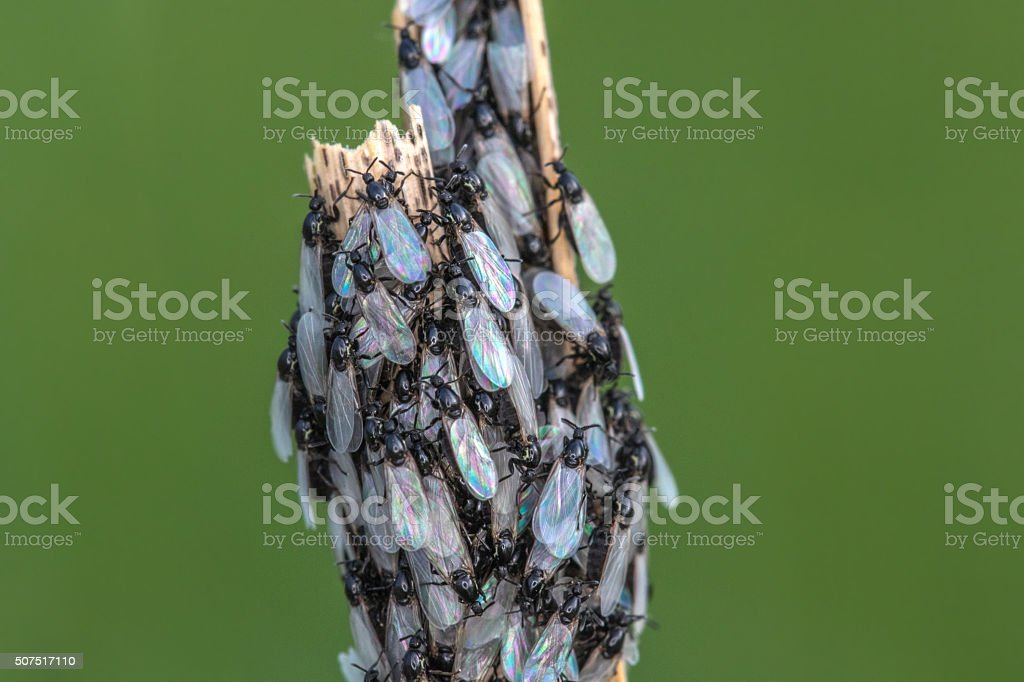 Cluster Flies with Pearl Wings stock photo