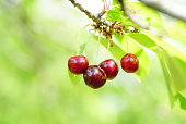 Cluster of a few ripe red cherries hanging on a branch in an orchard. Close up photo.
