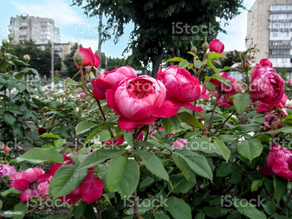 Cluster of amazing globular rose flowers in hot magenta color close-up against a background of cityscape stock photo