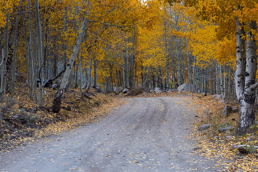 Cluster of Aspen trees in the Fall in the Eastern Sierra Nevada, USA, displaing mostly yellow leaves, along a dirt road near Bridgeport.