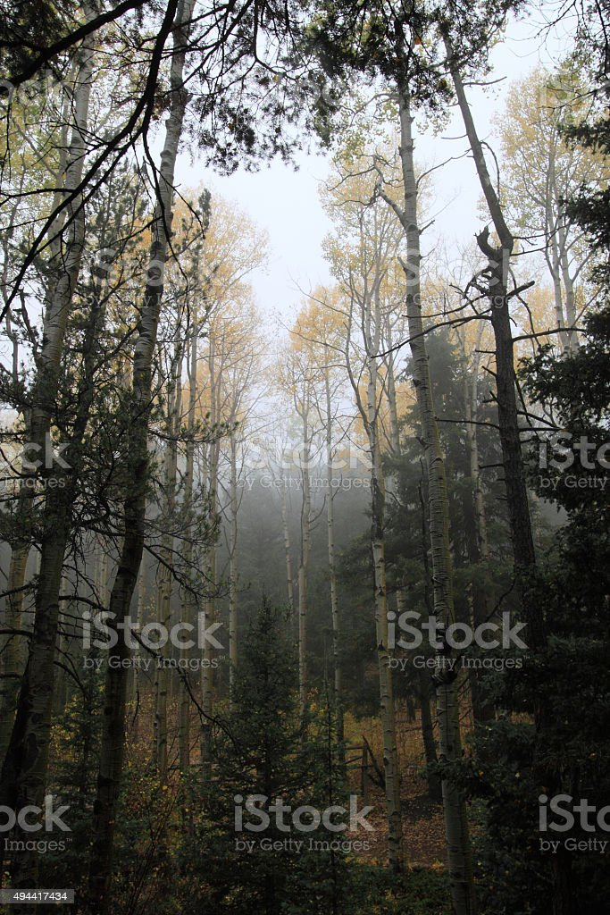 Cluster of Aspens visible through pine trees stock photo