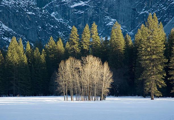 cluster de ses arbres d'hiver dans la vallée de yosemite - arbre à feuilles caduques photos et images de collection