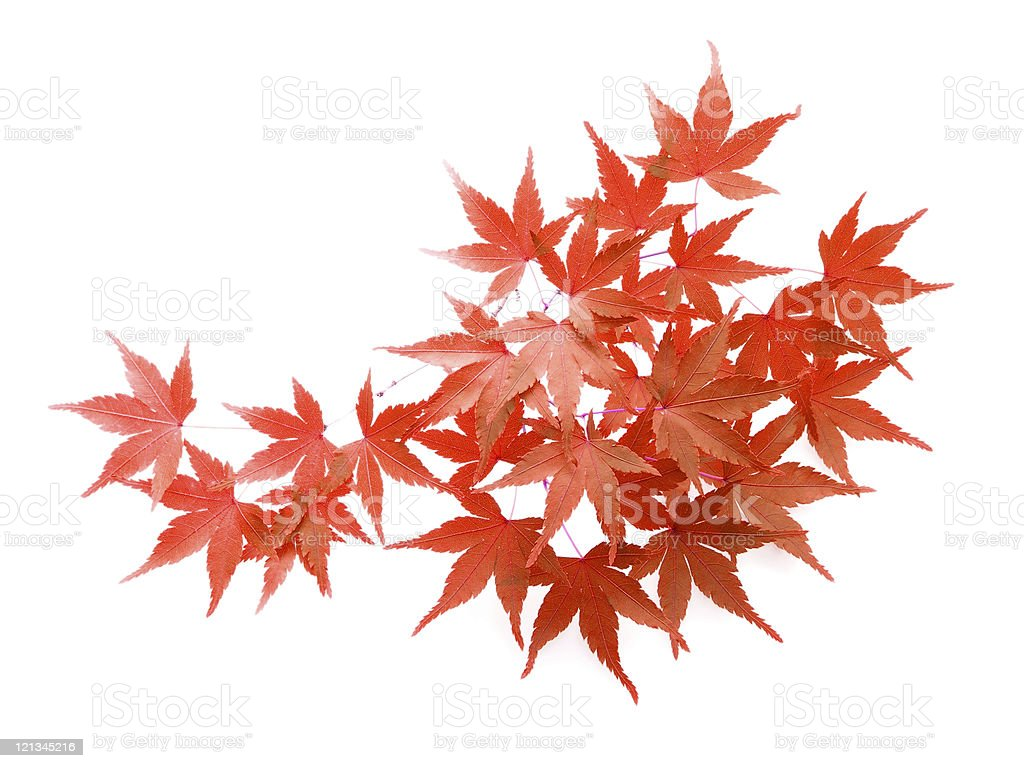 Cluster of beautiful Japanese maple acer isolated on white stock photo