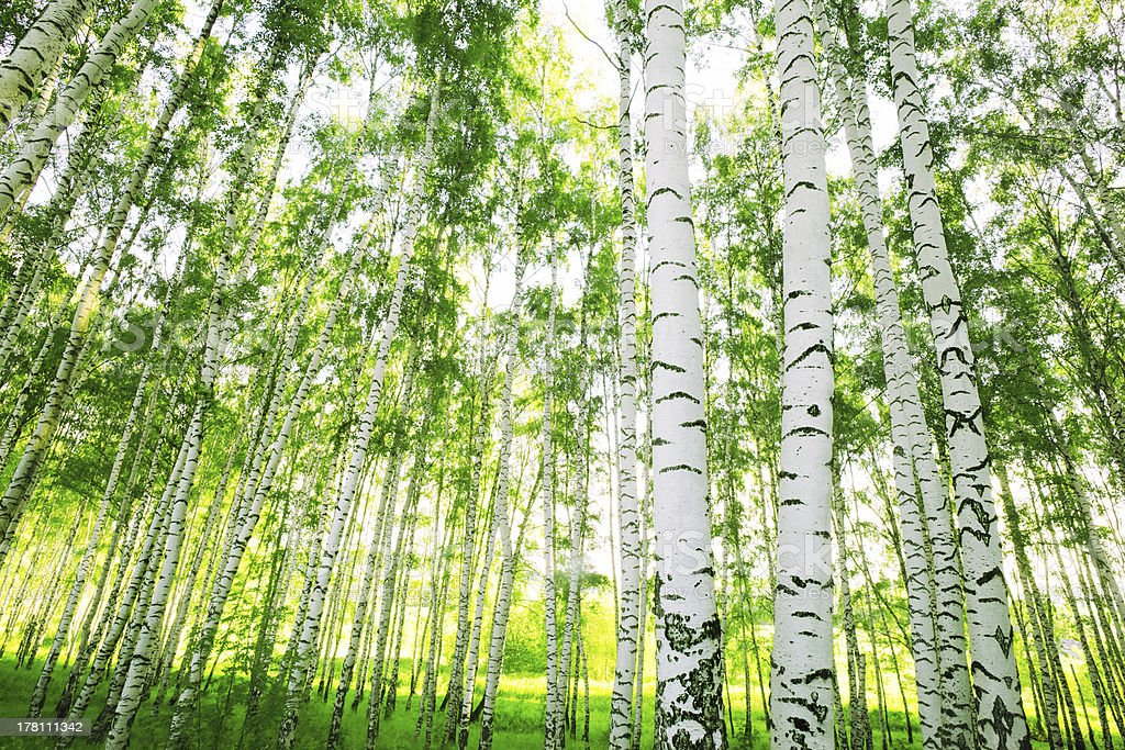 Cluster of birch trees in forest with light shining through stock photo