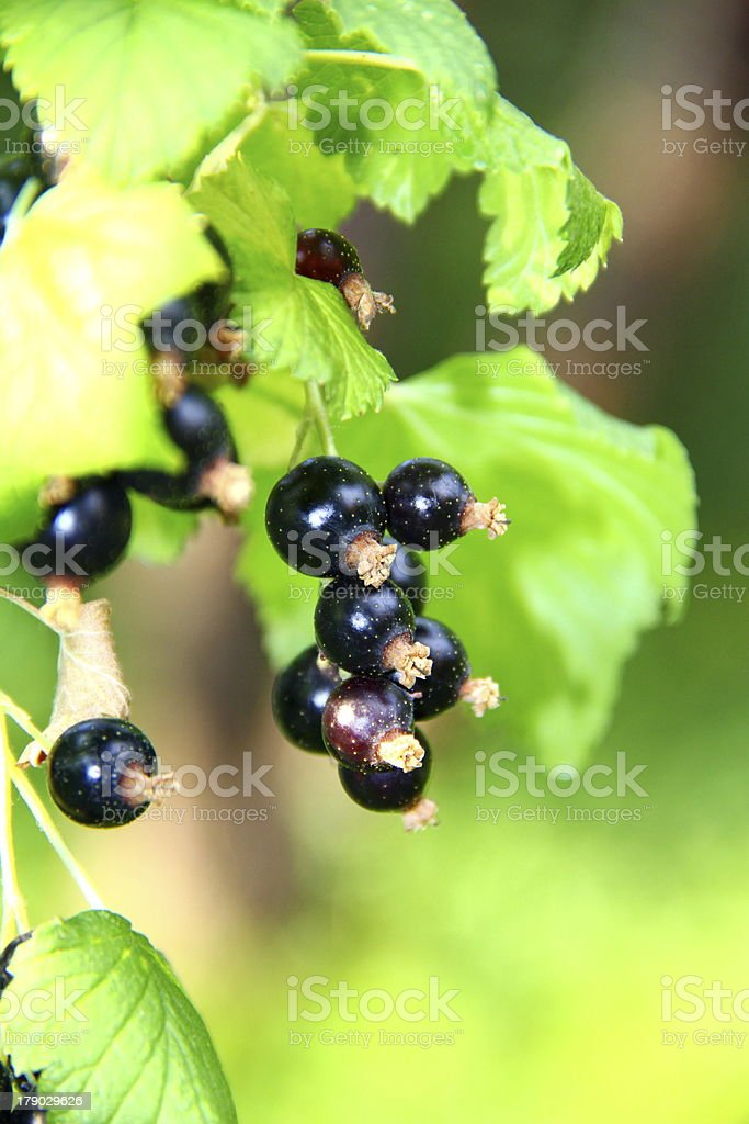 Cluster of blackcurrant royalty-free stock photo