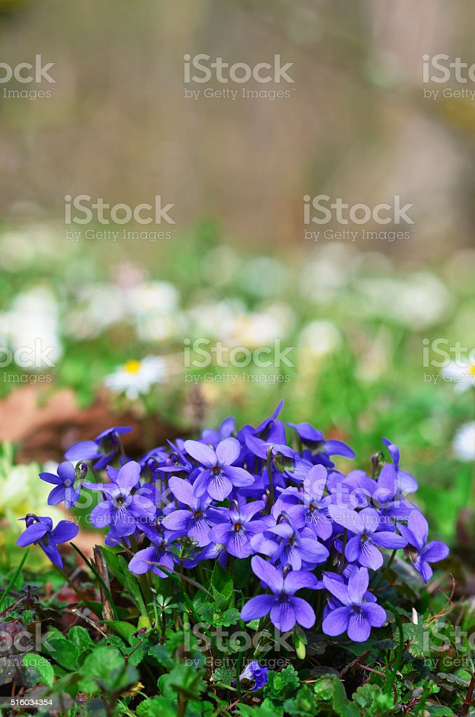 cluster of blue violets stock photo