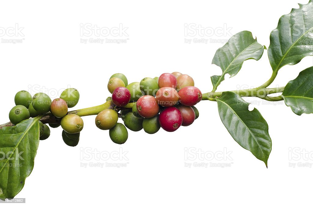 A cluster of coffee beans hanging from a tree  royalty-free stock photo