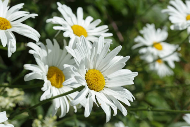 Cluster of Daisies in Summer stock photo