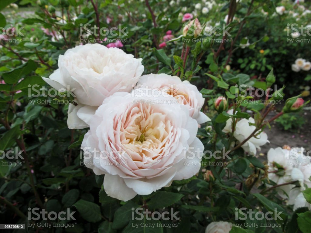 """Cluster of delicate cream cupped blooms of roses of """"Artemis"""" cultivar on a bush in the garden Three pale pink rose flowers close-up against a background of dark green foliage in a natural environment Artemis Stock Photo"""
