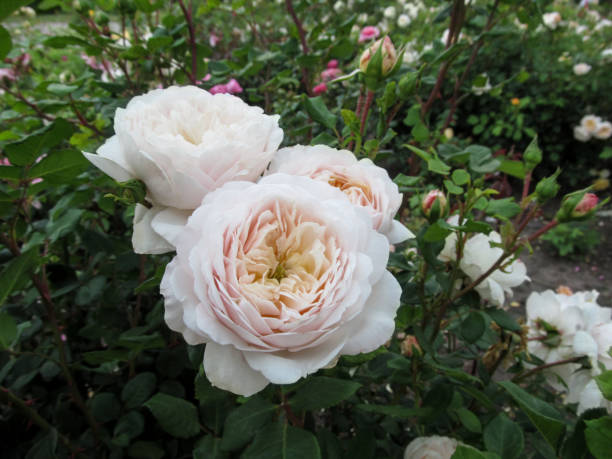 Cluster of delicate cream cupped blooms of roses of