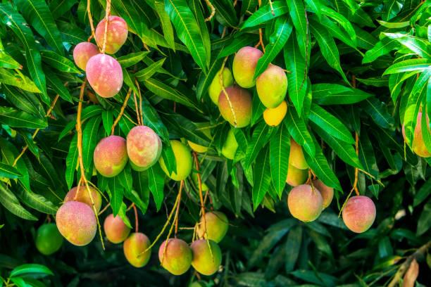 Cluster Mangos im Baum – Foto