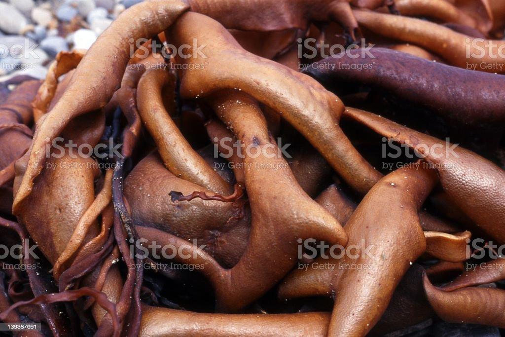 Cluster of Orange Seaweed royalty-free stock photo