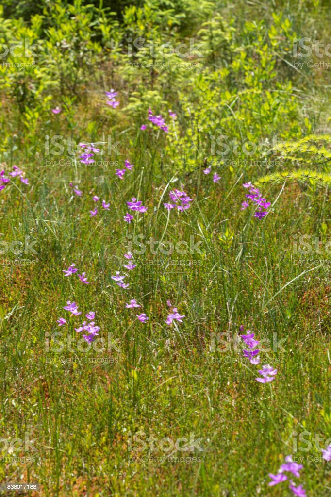 Cluster of purple grass pink flowers in New Hampshire. stock photo