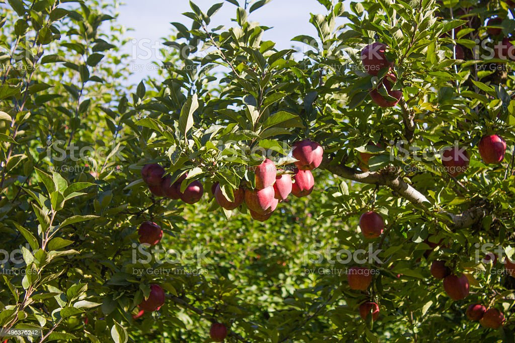 Cluster of Red Apples in a Tree stock photo