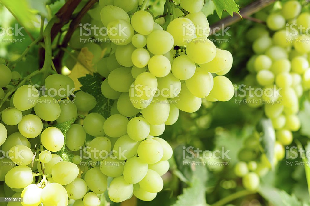 A cluster of ripe and fresh green grapes royalty-free stock photo
