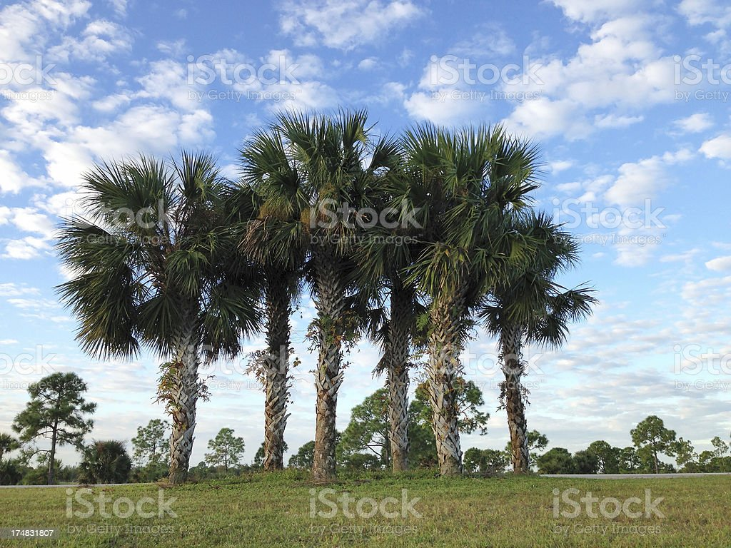 Cluster of sabal palms stock photo