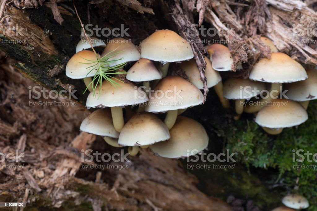 cluster of sulphur tuft (Hypholoma fasciculare ) stock photo