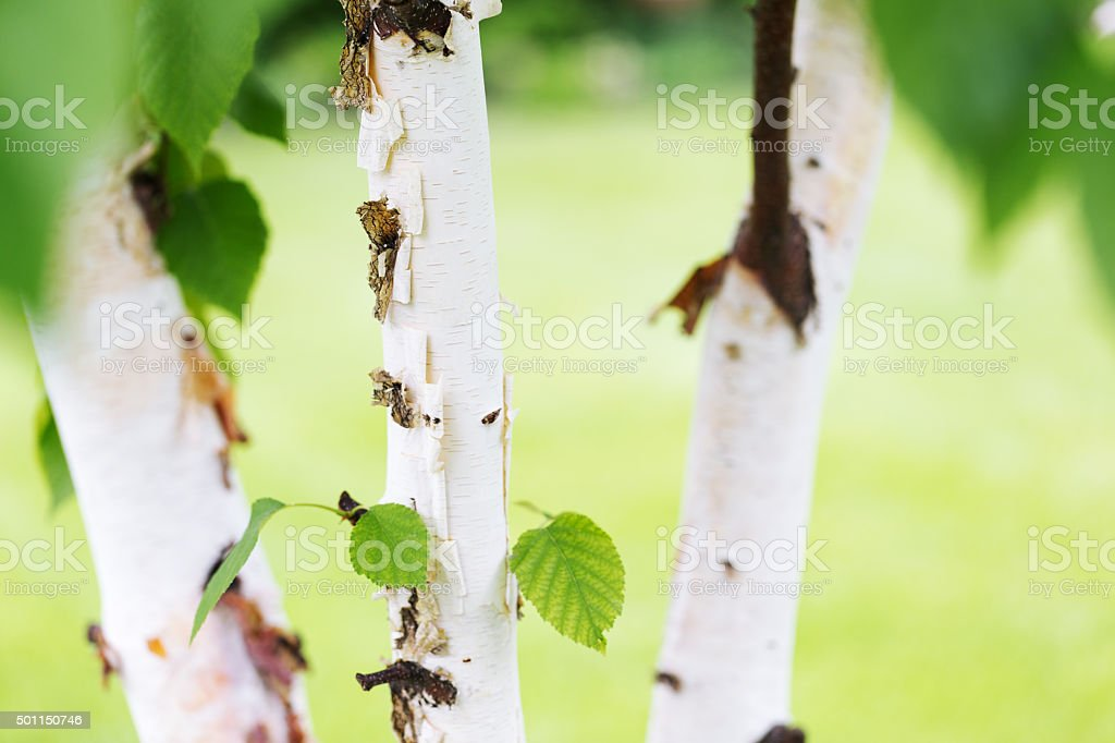 Cluster of Three Paper Birch Trees stock photo