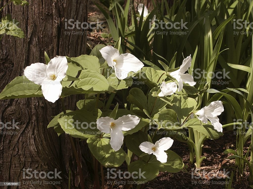 Cluster of Trilliums royalty-free stock photo