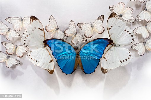 bunch of white butterflies, two bigPieris rapae, and a big Blue Morpho on a white table top