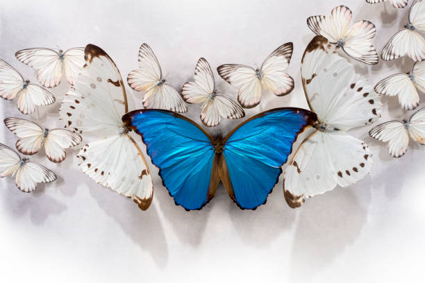 Cluster of white butterflies and a giant blue morpho with two giant picture id1164579224?b=1&k=6&m=1164579224&s=612x612&w=0&h=sdgj9qgn8dpridyvnol0rsrawxl8cy26y348yk3jg o=