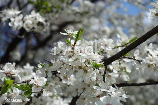 Cluster of white flowers of plum tree in April