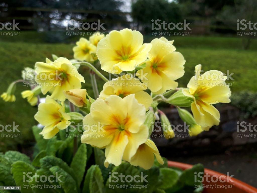 Cluster of Yellow Primroses stock photo