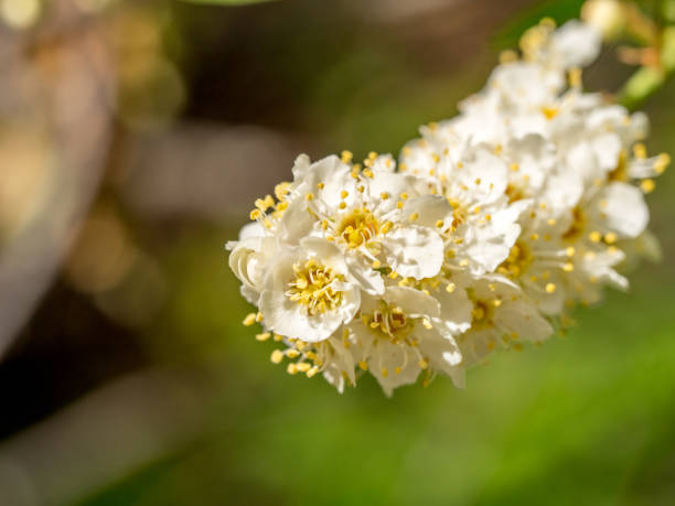 Clustered cherry blossoms in Spring, copy space stock photo