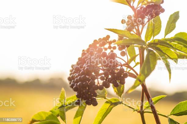 Photo of Clusters fruit black elderberry in garden in sun light (Sambucus nigra). elder, black elder, European black elderberry background
