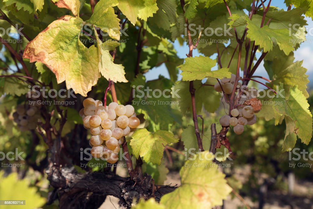 Clusters Grapes Amber Vine White stock photo