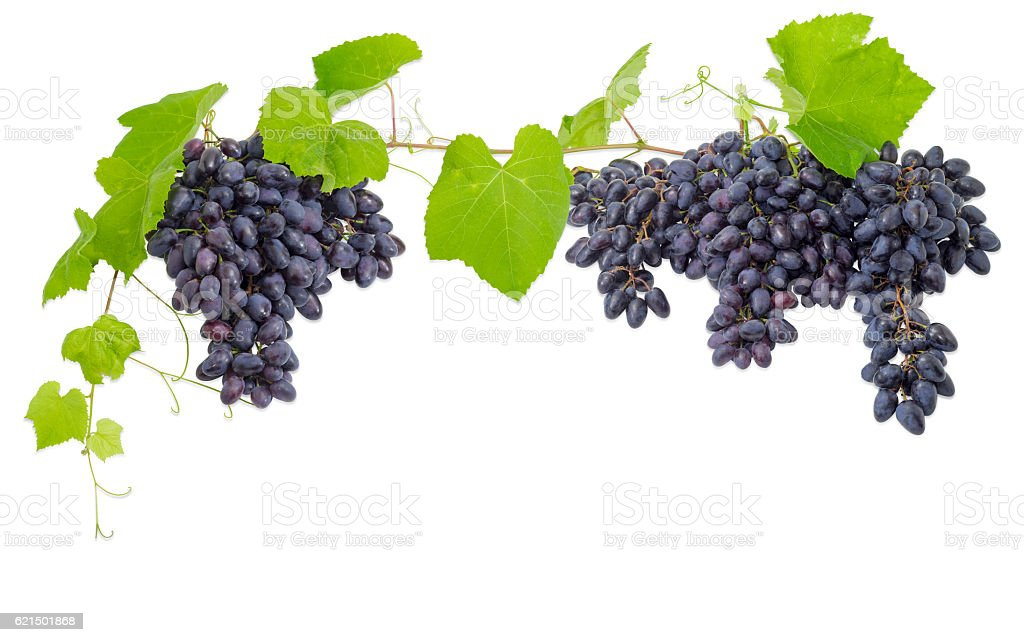 Clusters of blue grapes, hanging down and the vine Lizenzfreies stock-foto