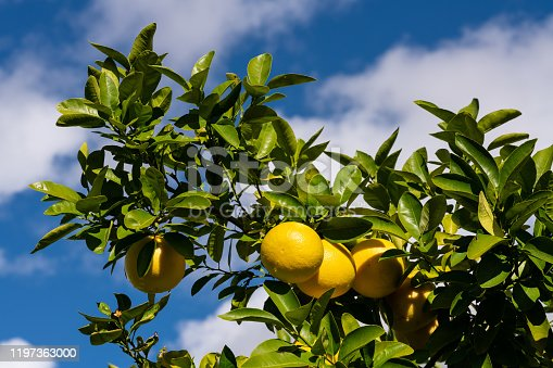 Clusters of grapefruits with visible rain drops hanging from tree ready to be harvested.