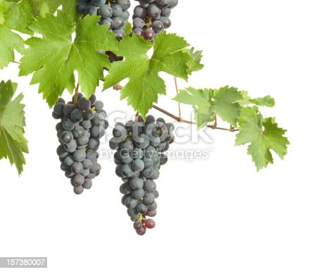 isolated branch of grapes with clusters