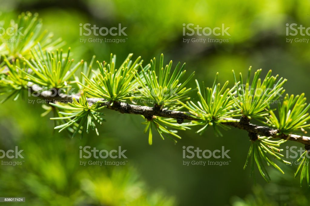 Clusters of green larch needles on short shoots, New Hampshire. stock photo