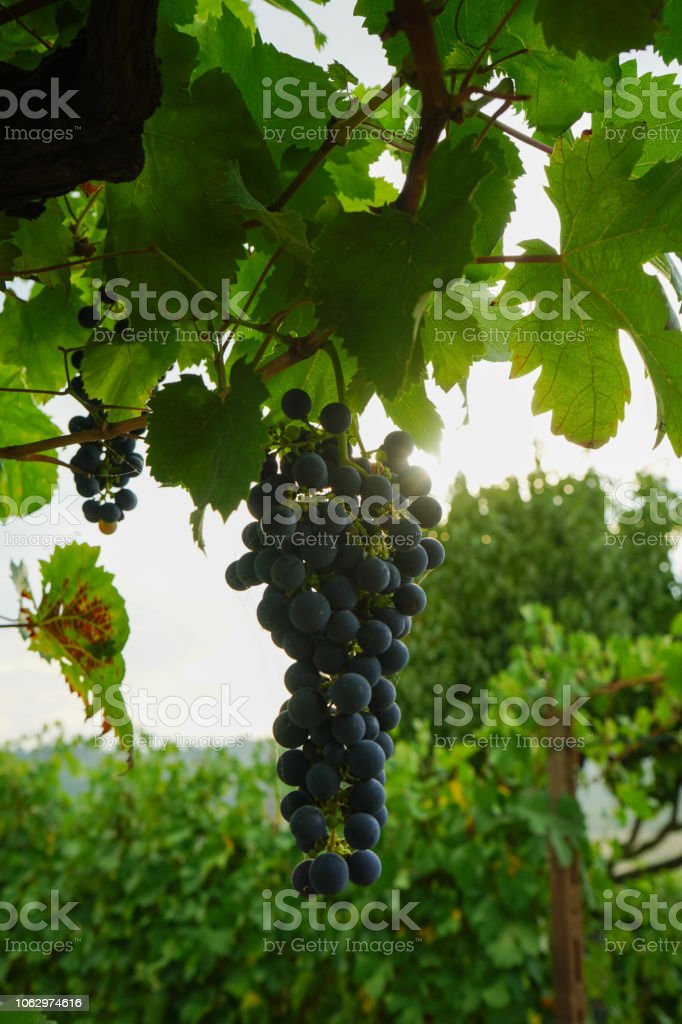 Clusters of Nebbiolo grapes in the Langhe, Piedmont - Italy - foto stock