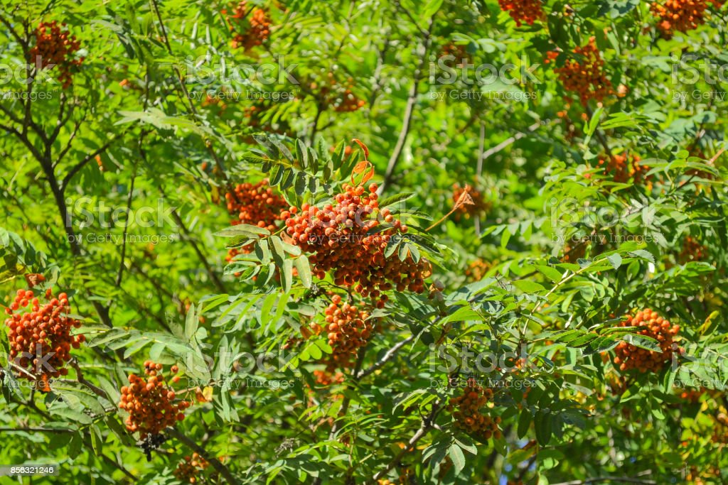 Clusters of red ashberry on a tree stock photo