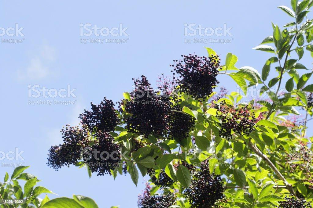 Clusters of ripe black elderberries Sambucus nigra stock photo