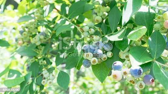 istock Clusters of Ripe Blueberries 839833290