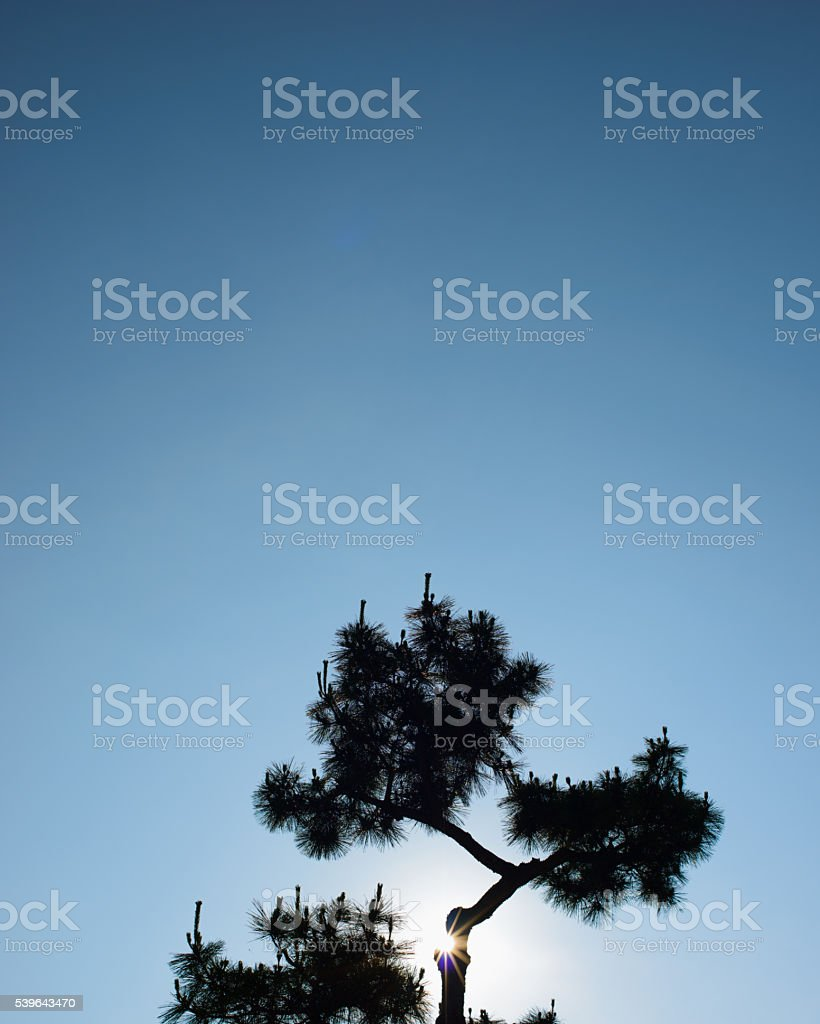 Clutivated Japanese Pine Silhouette stock photo