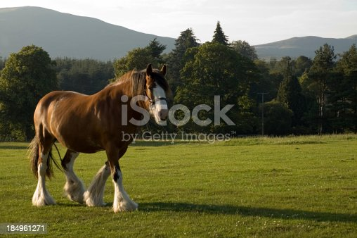 Clydesdale horse in a Scottish fieldPlease see also:
