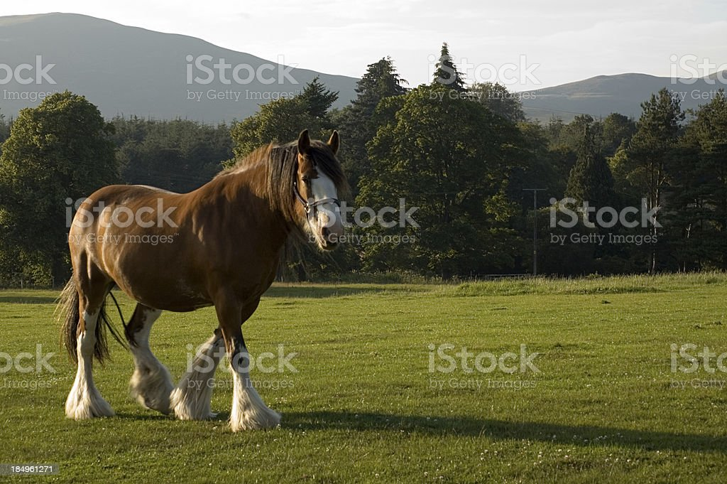 Clydesdale Carthorse stock photo