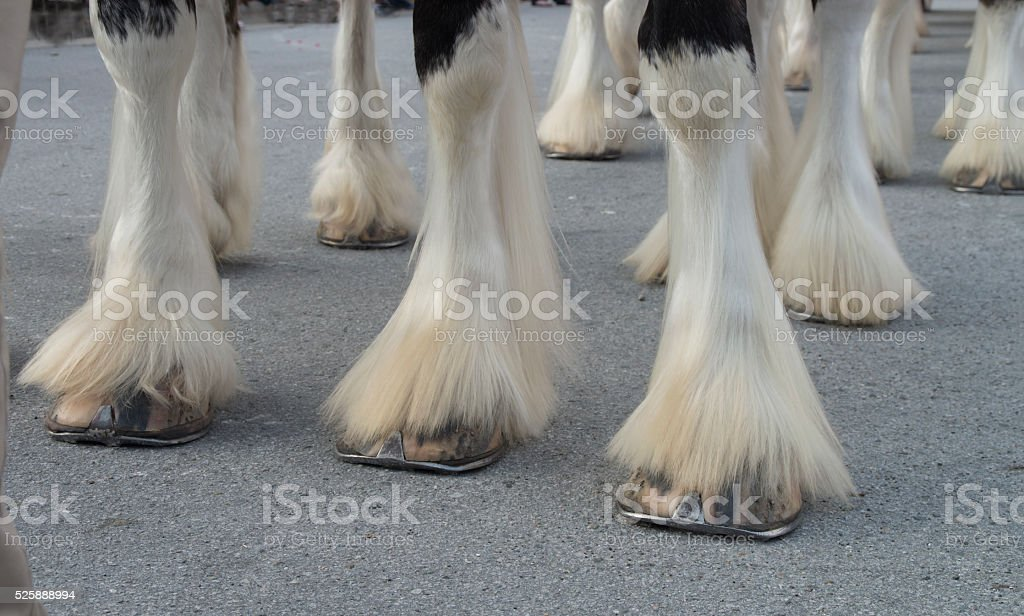 Clydesdale Hooves stock photo
