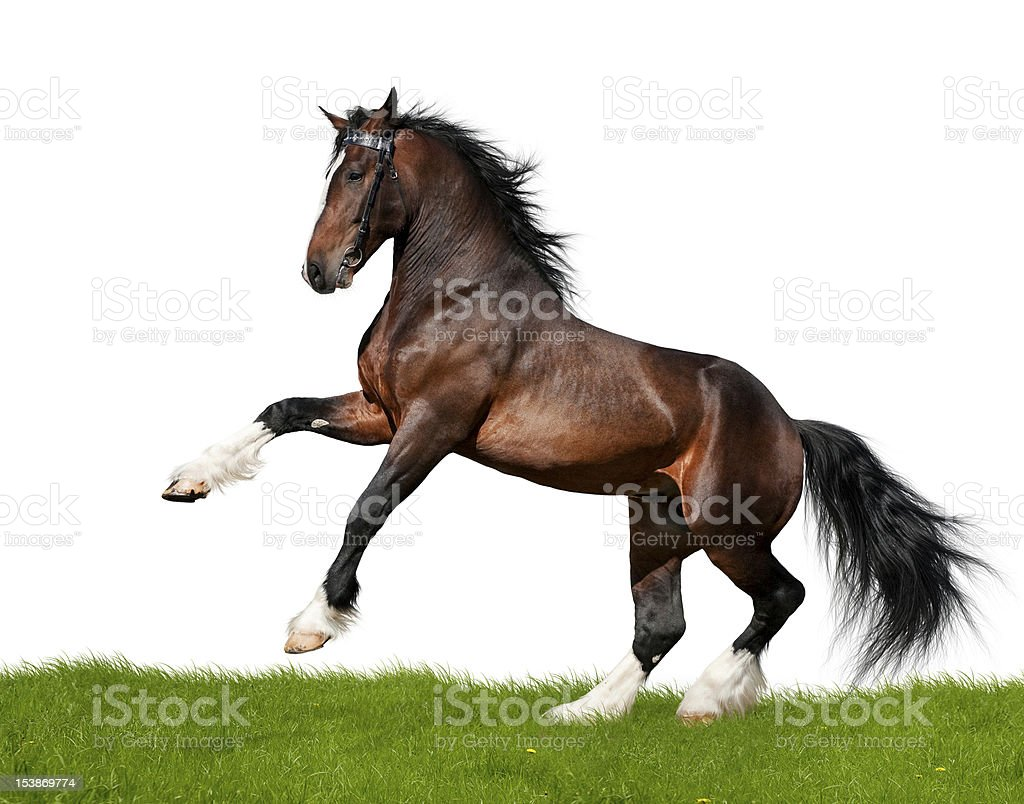 Clydesdale horse gallops in field stock photo